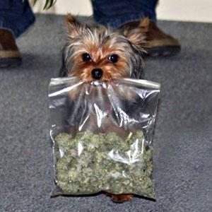 marijuana-dog1