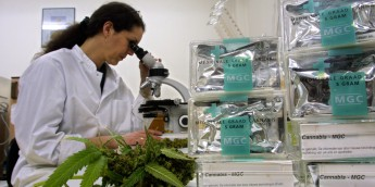 401161 02: An assistant studies marijuana/cannabis leaves in the Maripharma Laboratory February 15, 2002 in Rotterdam, Netherlands. The Dutch government is the first in the world to officially approve the cultivation and sale of cannabis products to pharmacies for medical purposes. A test by the Free Universtity in Amsterdam is conducting tests with 20 Multiple Sclerosis (MS) patients who seem to be experiencing great benefits from the treatment with marijuana. (Photo by Michel Porro/Getty Images)